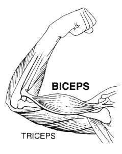 Biceps-239x300